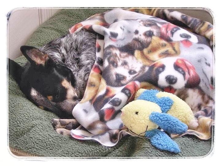 Banjo sleeping with blanket