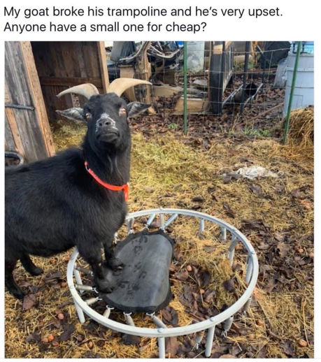 Goat Looking For Trampoline