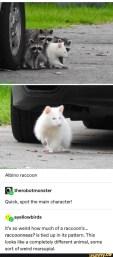 Albino raccon