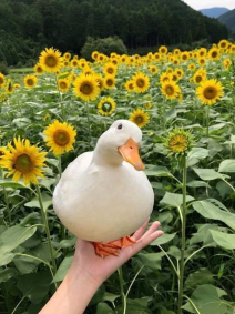 duck at hand